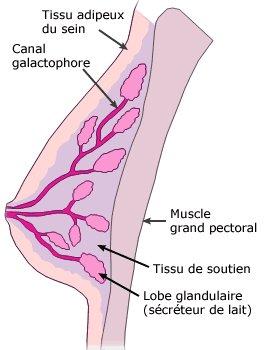 Le Cancer du sein : qu'est-ce que c'est ?